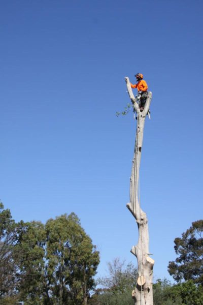 Ross up high performing a large emergency tree removal in Blacktown