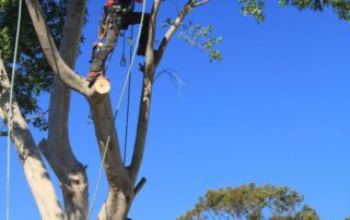 Ben performing a large Tree Removal in Canterbury-Bankstown