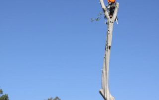 Ross up high performing a large tree removal in Blacktown
